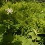 Cow Parsnip and Ferns