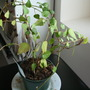 Ivy (Hedera hibernica (Irish ivy))