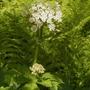 Heracleum lanatum or H maximum (Heracleum lanatum (Cow Parsnip))