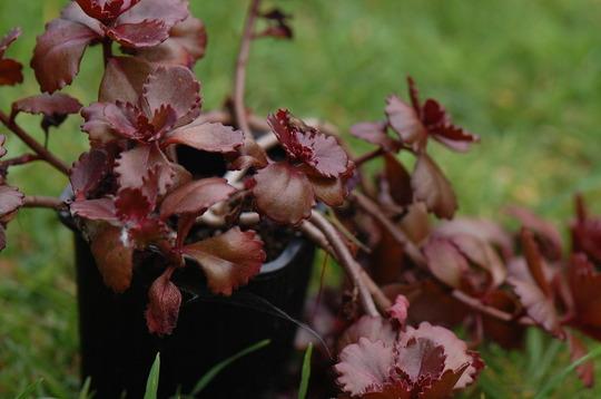 Sedum spurium 'Dragons Blood' (Sedum spurium (Rozchodnik))