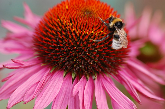 Echinacea 'Ruby Giant' and visitor !