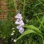 gladiolli in flower