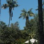 Very tall and old Kentia  Palms (Howea fosteriana)  (Kentia  Palms (Howea fosteriana))