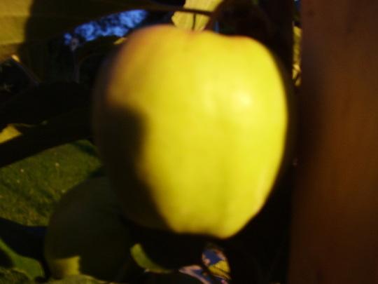 My bonnies apple