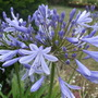 Pale blue Agapanthus (Agapanthus africanus)