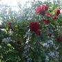 Roses_clematis_on_trellis