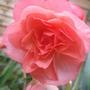 Pink_aromantics_begonia