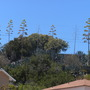 Agave americana - Century Plants Growing Wild and Flowering (Agave americana - Century Plants)