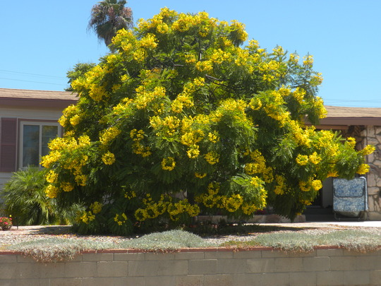 Cassia leptophylla - Gold Medallion Tree : Grows on You