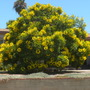 Cassia leptophylla - Gold Medallion Tree
