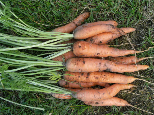 Carrots   ''  Nantes  ''