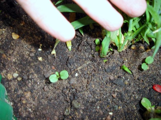 MORE SEEDS SPROUTING