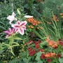 Stripy_lily_in_the_hot_border