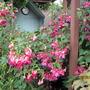 Garden view of fuchsia pots on patio.