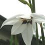 Acidanthera murielae