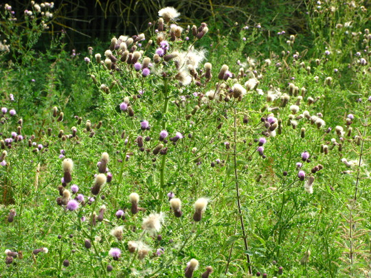 Thistles meadow