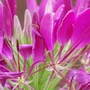 Cleome crown (Cleome hassleriana (Spider flower))