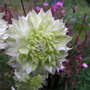 Clematis florida Alba Plena (Clematis florida Alba Plena)