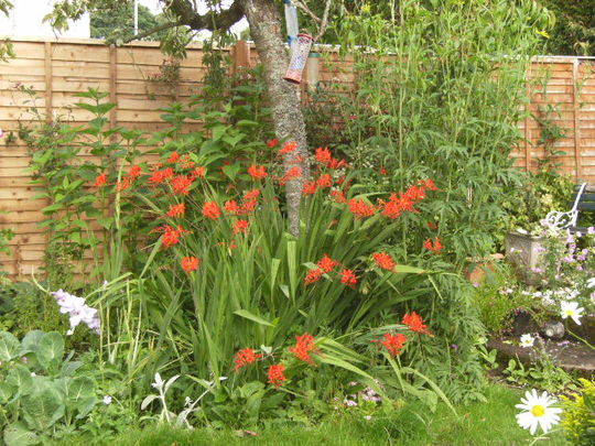 Crocosmia &quot;Lucifer&quot; in full flower