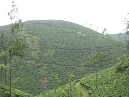 Tea plantation in Kerala (Camellia sinensis)