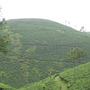 Tea plantation in Kerala (Camellia sinensis)