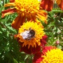 French Marigold (Tagetes patula (French marigold))
