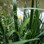 Water Buttercup (Giant Spearwort)
