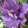 Clematis_vyvyan_pennell_