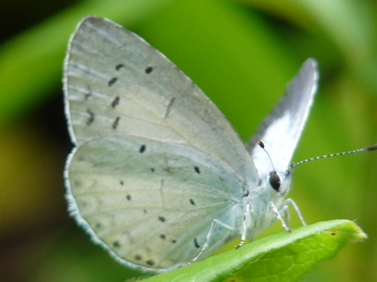 Female Holly Blue butterfly (Buddleja davidii (Butterfly bush))