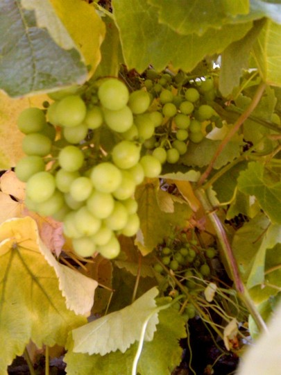 The grapes are coming along (vinis vinifera)