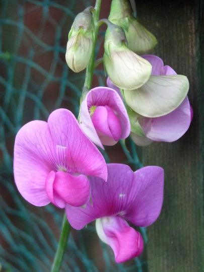 Lathyrus.....Perennial Sweetpea (Lathyrus latifolius (Everlasting pea))
