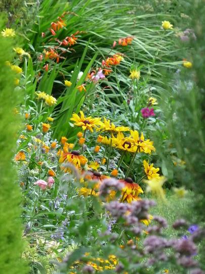 August garden (Rudbeckia fulgida (Black-eyed Susan))
