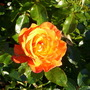 Rose at Regents Park (Rosa)