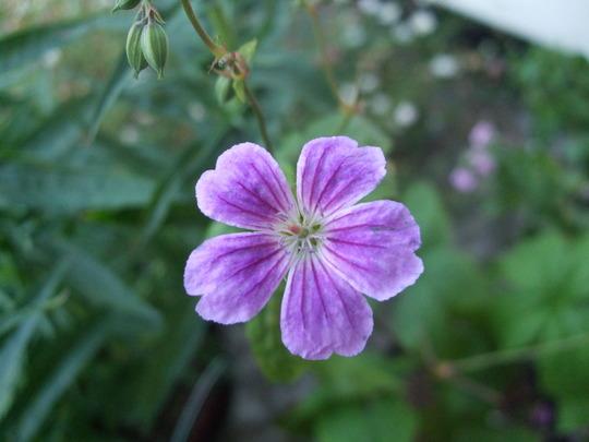Geranium nodosum 'Whiteleaf' (Geranium nodosum (Hardy geranium))
