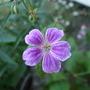 Geranium_nodosum_whiteleaf_
