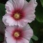 Pale Hollyhock (Alcea)