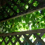 Grapes on the shade porch