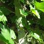 Concord grape ripening...