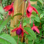 Hardy Fuchsia 'Lady Boothby' (Fuchsia)