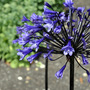 Agapanthus 'Back in Black' (Agapanthus)