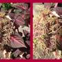 End-of-Winter Downunder:  Iresine herbstii 'Blazin Rose' in flower (Iresine herbstii (Beefsteak Plant))