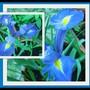 End-of-Winter Downunder:  Dutch Iris (Iris x hollandica)