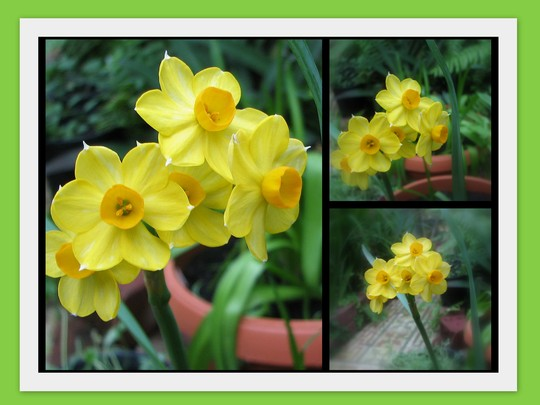 End-of-Winter Downunder: Jonquil 'Soleil D'Or' (Narcissus jonquilla (Jonquil))