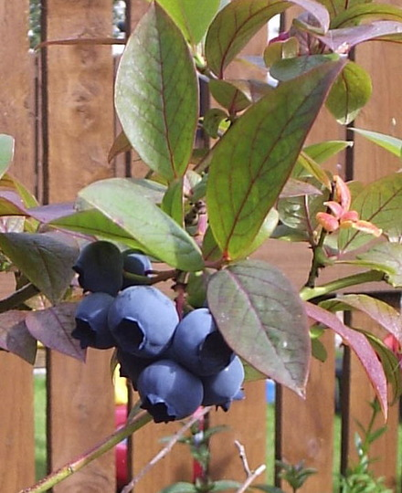 "Blueberry ""Top Hat"""