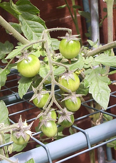 "Tomato ""Golden Nugget"", first vine ripening."