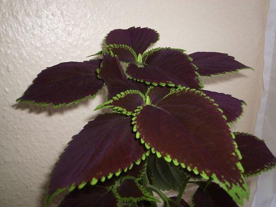 """Coleus """"Chocolate Mint"""" (Solenostemon scutellarioides (Coleus))"""