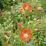 Sphaeralcea 'Incana' (sphaeralcea)