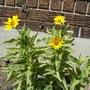 Heliopsis 'Helhan' - Loraine Sunshine