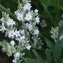 White_lavender