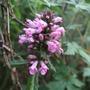 Stachys monieri 'Saharan Pink' (Stachys monieri)